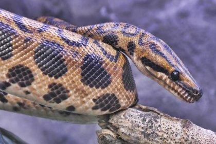 Dinozorları yok eden göktaşı, yılanların kaderini mi belirledi?