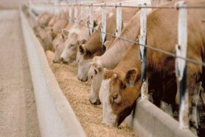 İBB: Hayvan üreticilerine sığır süt yemi desteği başvuruları başladı