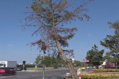 İBB'nin ağaç bakım çalışmaları devam ediyor