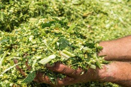 İBB'nin çiftçilere dağıttığı tohumlardan 60 bin ton mısır silajı üretilecek