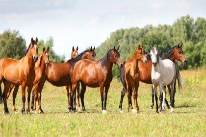 Kayıp 100 at skandalında şebeke iddiası