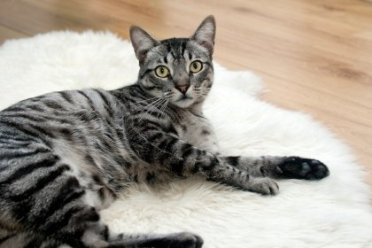 Kedilerdeki desenleri kontrol eden gen bulundu