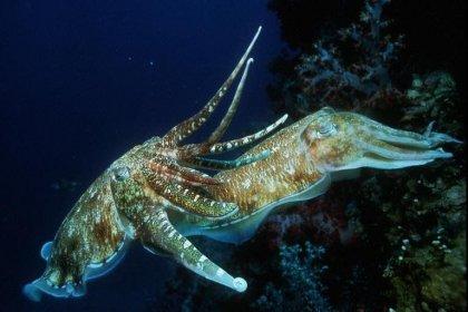 Mürekkep balıklarının iradelerini kontrol edebilecek şekilde evrim geçirdiği tespit edildi
