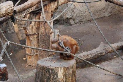 Orangutanlar, kendilerine öğretilmeden çekiç kullanabiliyor