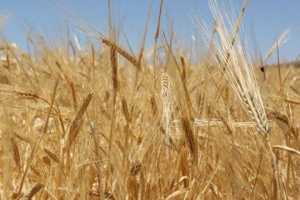 TÜİK: Buğday üretimi geçen yıla göre yüzde 14 azalacak