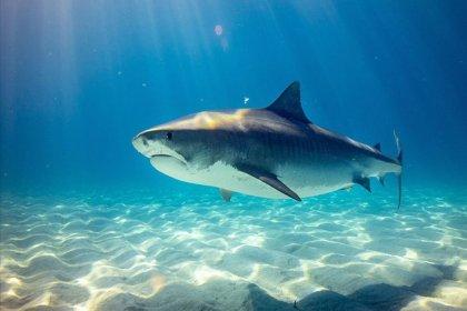 Üç köpek balığı türünün 'karanlıkta parlama' özelliğine sahip olduğu keşfedildi